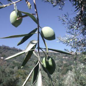 oliva-Vaddariva