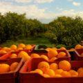 agrumicoltura-bio