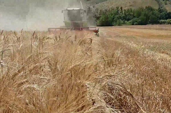 Siccità e stagioni pazze, crolla la produzione di grano duro siciliano