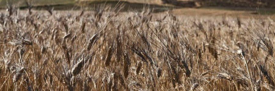 Lo strano caso del grano Senatore Cappelli, da patrimonio pubblico a monopolio privato