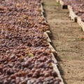 Pantelleria Doc appassimento uve