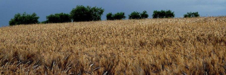 Politica agricola comune e grano duro. Se ne parla alla Festa del grano di Raddusa