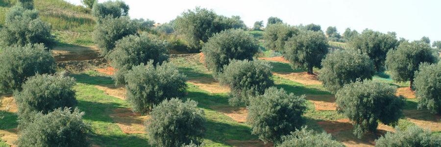 comparto olivicolo oliveto intensivo