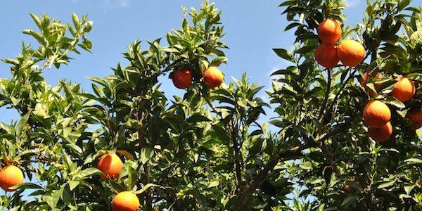 filiera agrumicola siciliana
