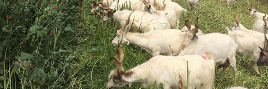 allevamento rigenerativo capra girgentana