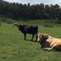 brucellosi bovina