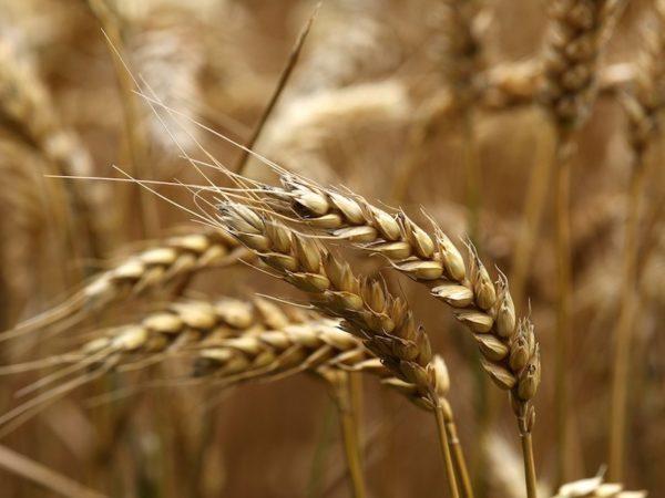 percorso del chicco di grano