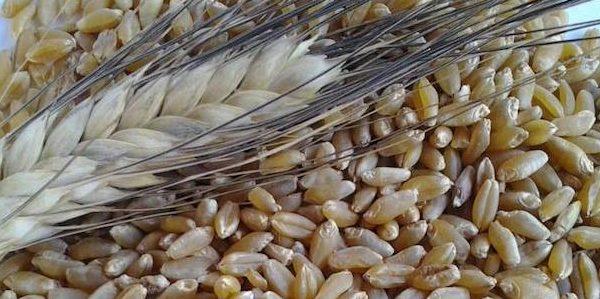 grano-duro-bio-deroga