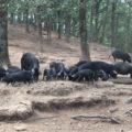 biodiversità dei Nebrodi suini neri