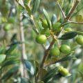 olivicoltura Sicilia