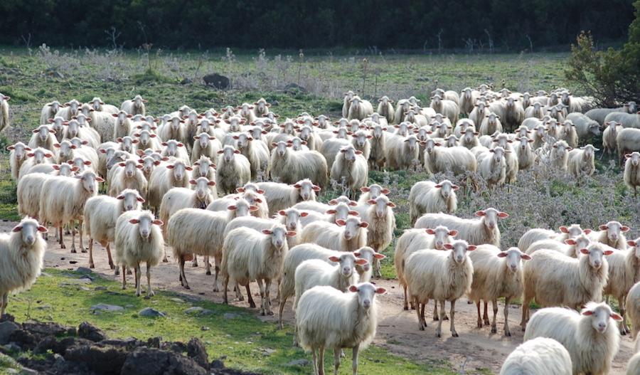 La protesta dei pastori sardi contagia la Sicilia. Domani azione dimostrativa a Poggioreale