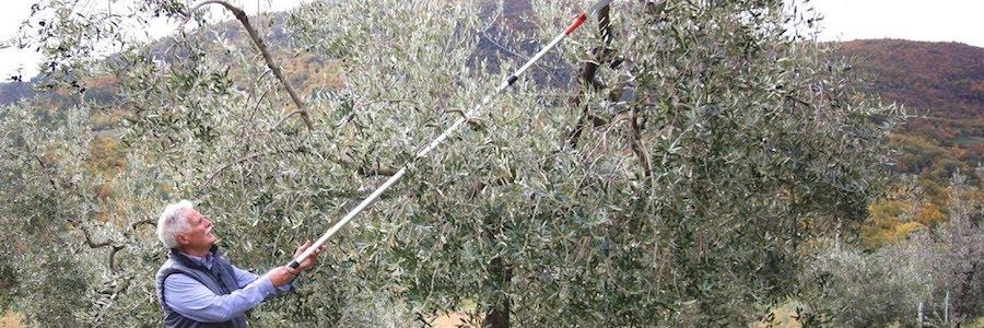 Vaso policonico dell'olivo, corso di potatura a Campofelice di Roccella
