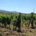 vitivinicoltura
