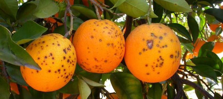 Citrus black spot macchia nera