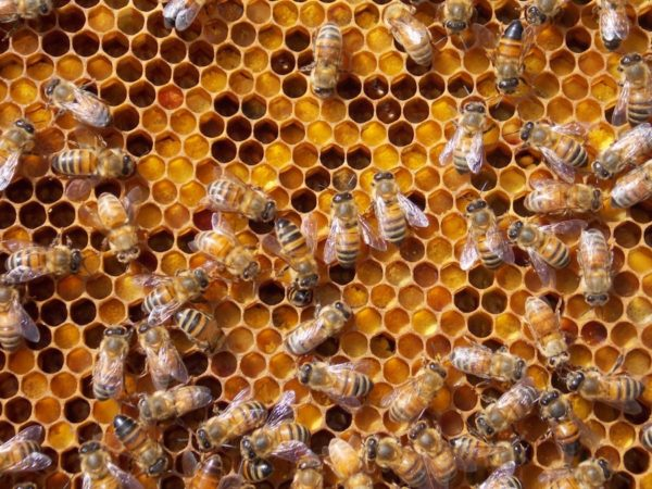 api e varroa