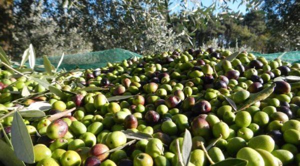 estrazione olio extravergine di oliva