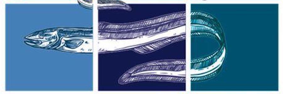 allevamento anguilla