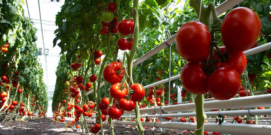 Incontro a Pachino sul ToBRFV, la nuova pericolosa minaccia per il pomodoro