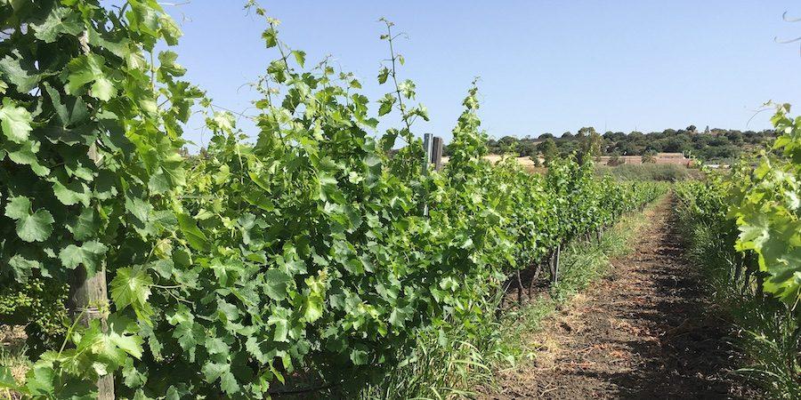 vitigni antichi