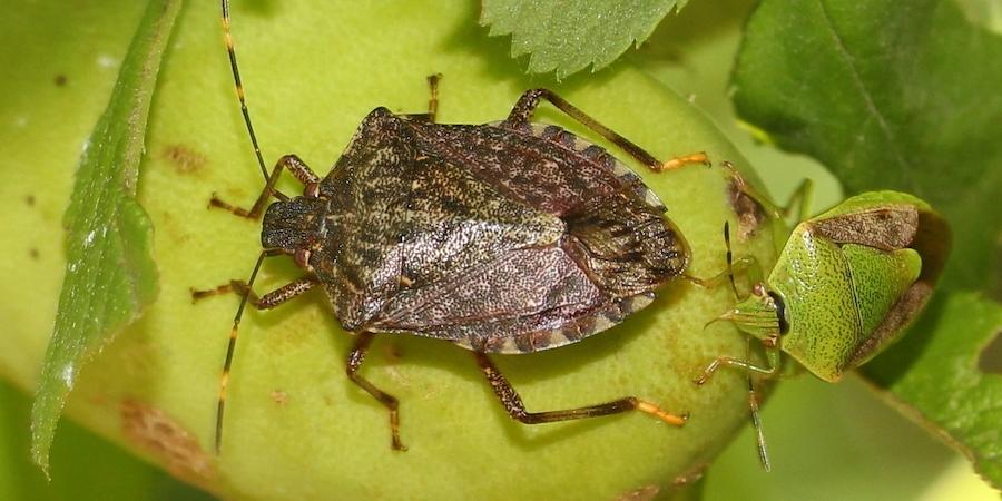 Halyomorpha halys alias cimice asiatica