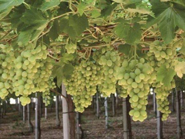 uva da tavola vino