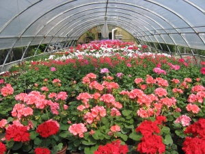 Italia senza fiori, perso 60% della produzione, danni da 1 miliardo di euro