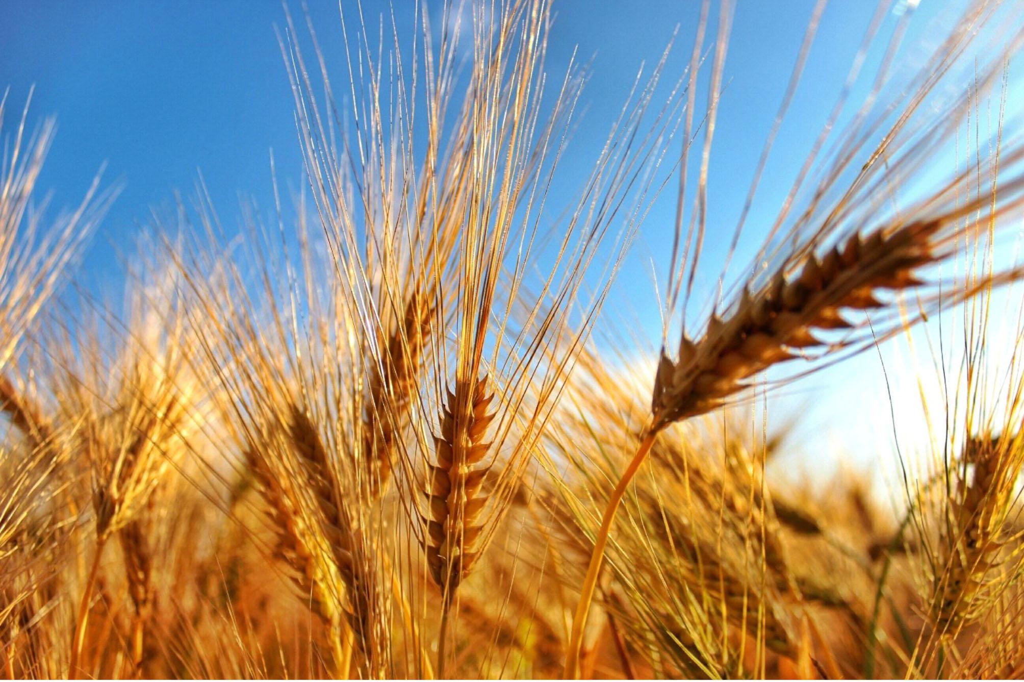 Coldiretti annuncia: al via raccolta grano con -10%, prezzi in rialzo