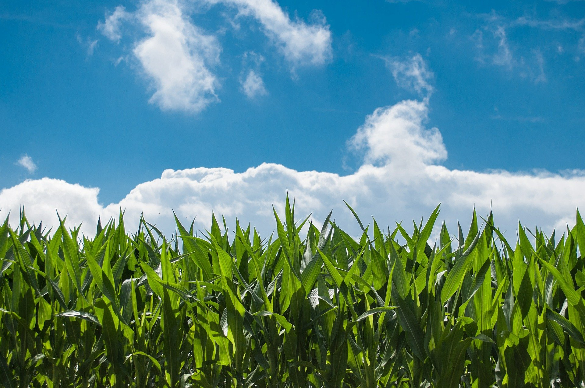 """Mais, Confagricoltura: """"Servono incentivi alla coltivazione e potenziamento della ricerca"""""""